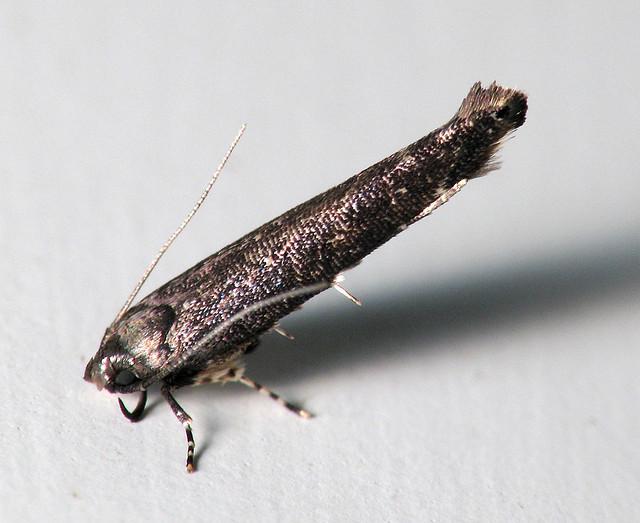 Quadrupod Micro Fish Moth