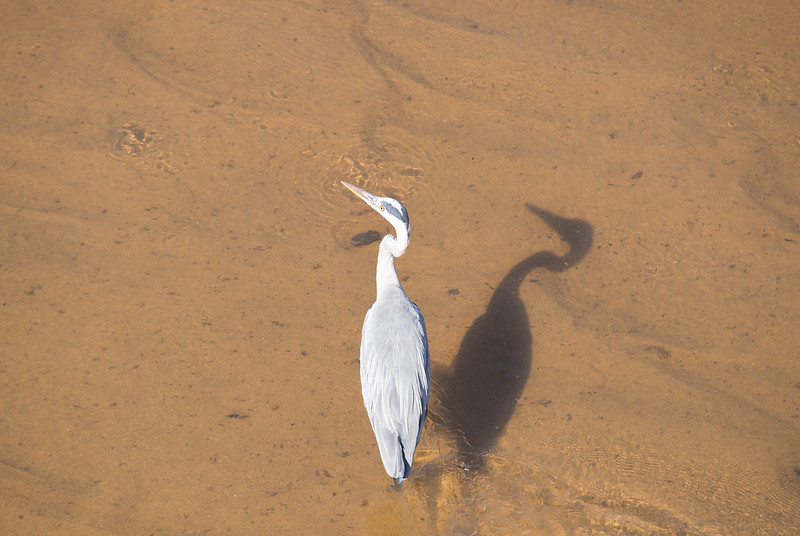Grey Heron and his shadow