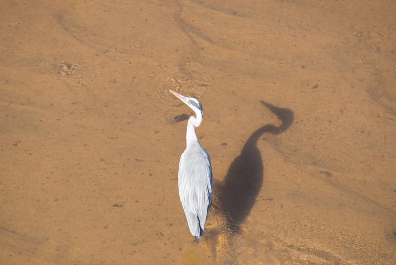 Grey Heron and his shadow