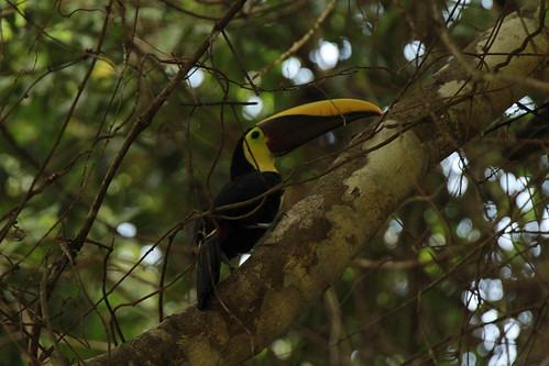 Black-mandibled Toucan | by Gmo_CR