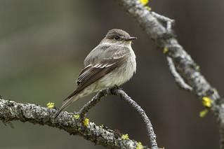 Hammond's Flycatcher - Sisters - Oregon_S4E1410 | by fveronesi1