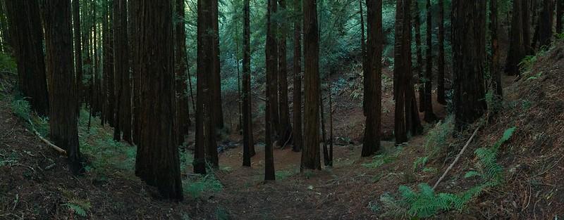Coastal redwoods - Muir Woods