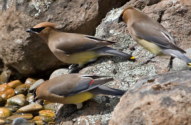 Waxwings at the waterfall