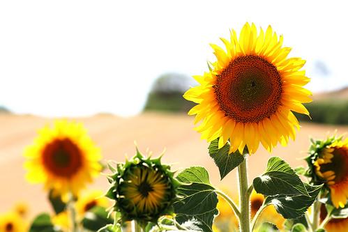 Sunflowers   by José Carlos Cortizo Pérez