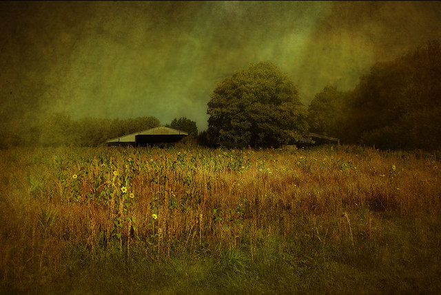 Thunderstorm across a Field of Sunflowers