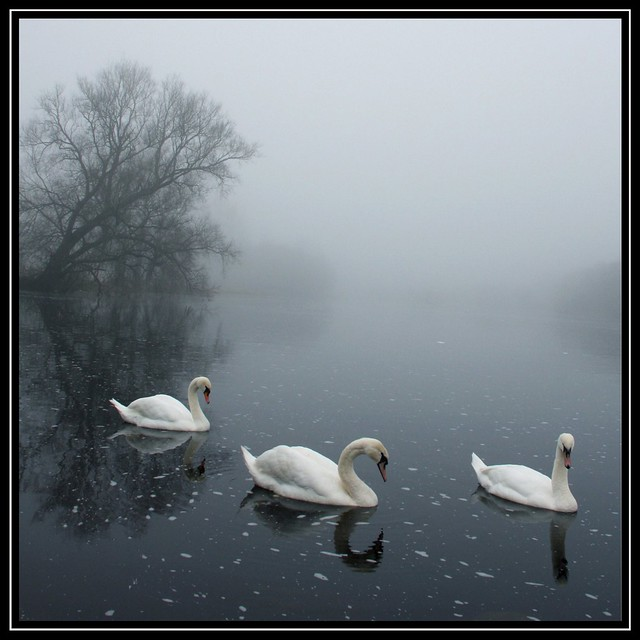 ... more swans at Castleconnell, Co Limerick