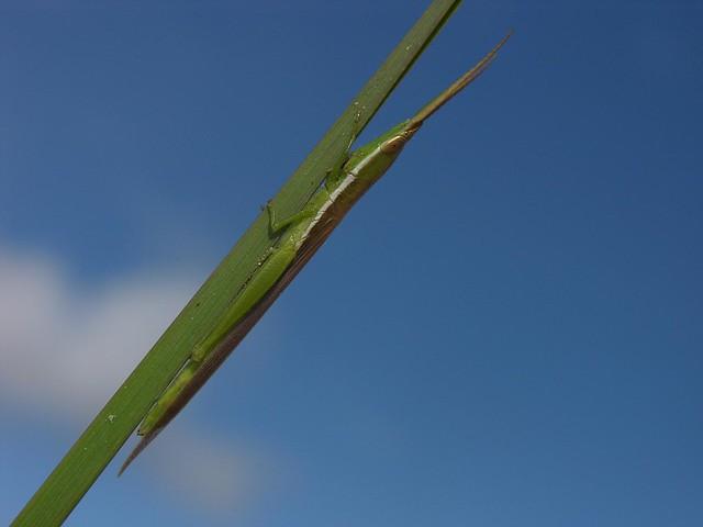 Toothpick grasshopper (Leptysma sp), Gran Sabana, Venezuela