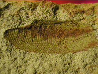 Fossil Samara