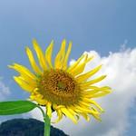 Sunflower / Helianthus annuus / 向日葵(ヒマワリ)