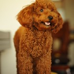 Toy poodle トイプードル ショコラ