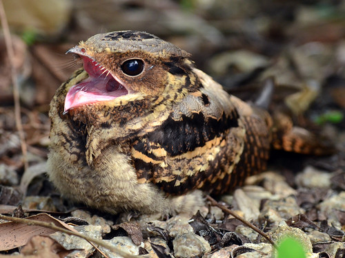 Large Tailed Nightjar | by mahi mahi 163