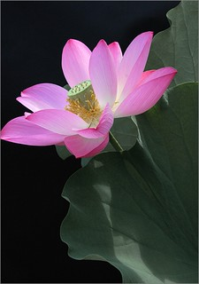 Pink Lotus Flower | by Bahman Farzad