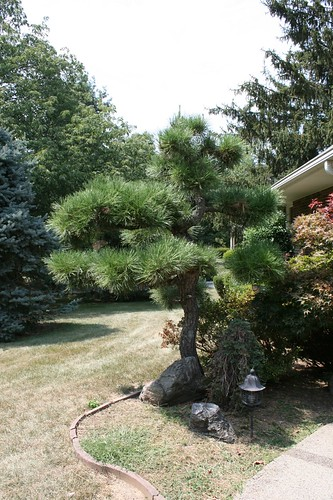 tree pine landscaping