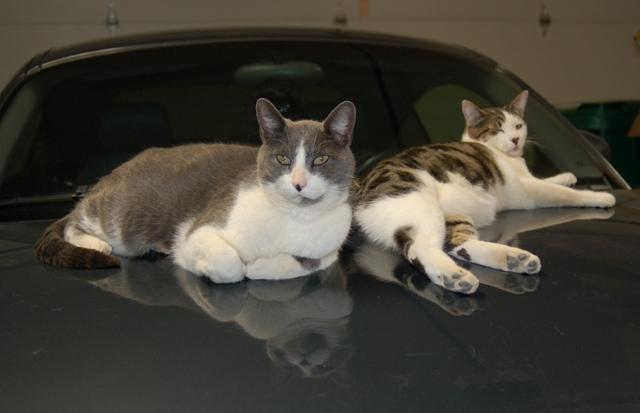 Cool cats as hood ornaments