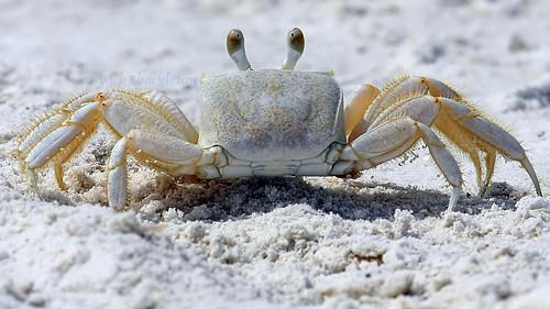 beach sand rick beachlife fl shackleton crabby marcoisland floridawildlife floridabeaches ghostcrab golddragon marcoislandflorida diamondclassphotographer flickrdiamond colliercountyfl thechallengefactory rickshackleton