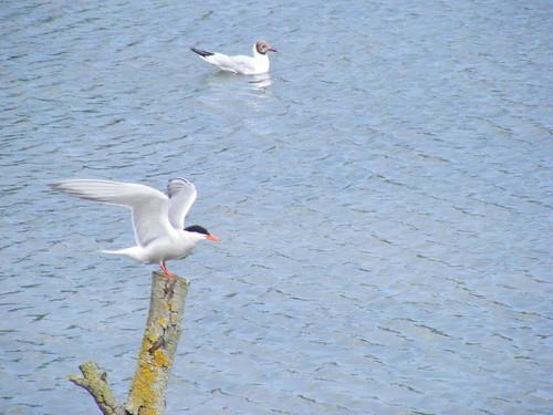 Common term & Black-headed gull | by zabdiel