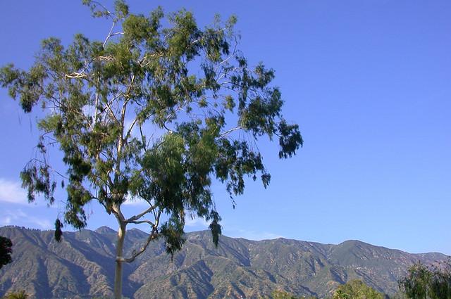 Eucalyptus Against San Gabriel Foothills - C95-6-21-08_12827