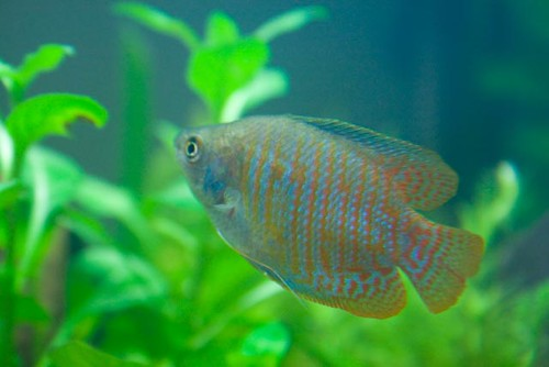 dwarf gourami | by bosscock_uk