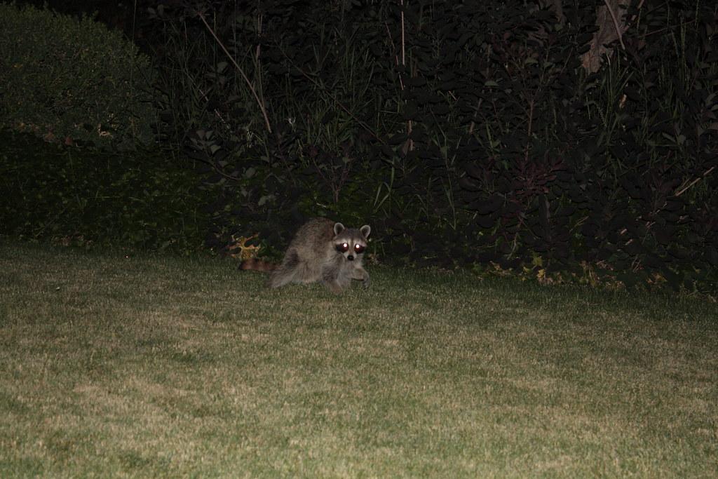 backyard raccoon at night   raccoon in the backyard, it's ...