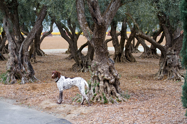 Olive Trees with a friend