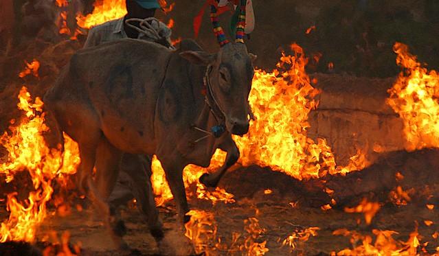 Sankranthi Kichchu Haisodu Bangalore | bull jumping over fir… | Flickr