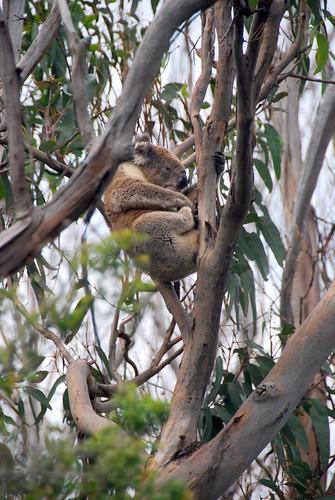 a koala in the wild, great ocean road | by hopemeng