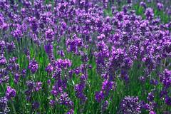 Fw: Lavender Picture | by uniquegarden