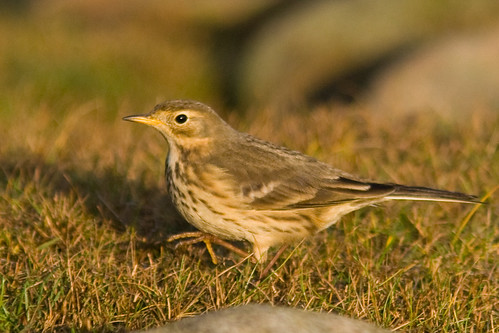 Buff-bellied Pipit (Hedpiplärka) | by laser-tomas