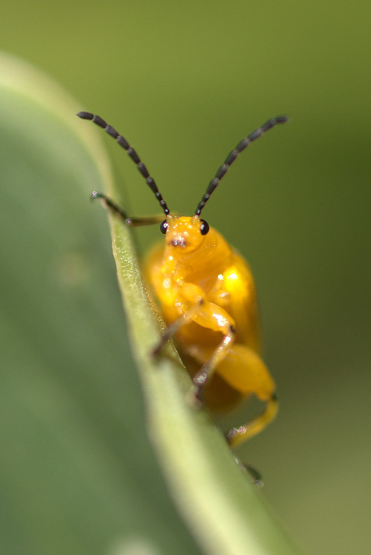 Beetle Yellow 01