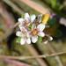 Flickr photo 'Glaux maritima (Sea milkwort / Melkkruid) 0581' by: Bas Kers (NL).