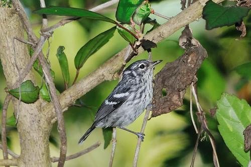 Elfin-woods Warbler, adult