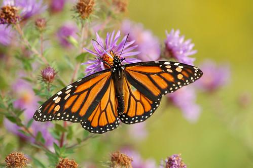 nyc orange white ny black green butterfly d50 wings purple bokeh sigma explore spots monarch wildflowers statenisland aster 170500mm mountloretto robertcatalano