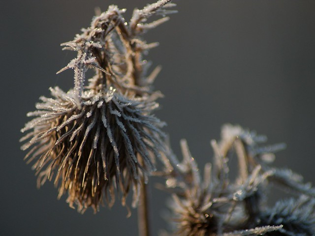 imgp7892 - Frosty Dead Thistle