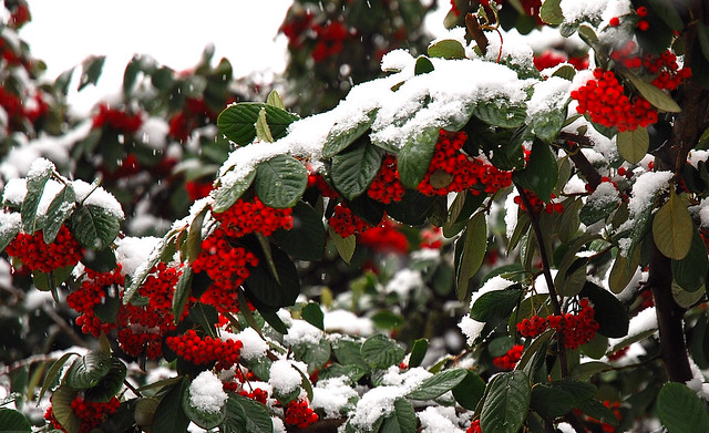 30 - 05 janvier 2009 Maisons-Alfort Jour de neige = Snowy day Promenade au bord de la Marne Neige et fruits rouges = Snow and red fruits