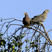 Flickr photo 'Patagioenas fasciata' by: Blake Matheson.
