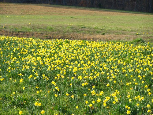 county flowers usa yellow nc daffodil stanly ncpedia