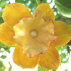 Daffodil Barrette 03 | by ElizabethBonura