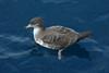 Fardela gris (Procellaria cinerea), Mar de Chile by FOTOS BENO