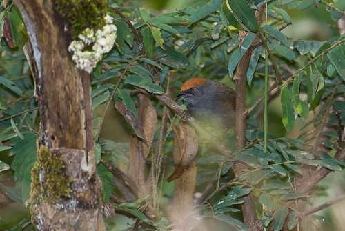 Chicli Spinetail | by chlorophonia