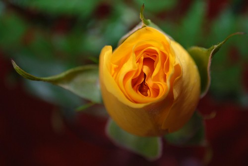 Yellow Rose, Day 1 | by slgckgc