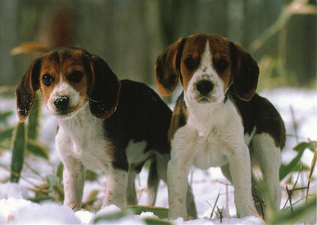 Beagle Pups Postcard