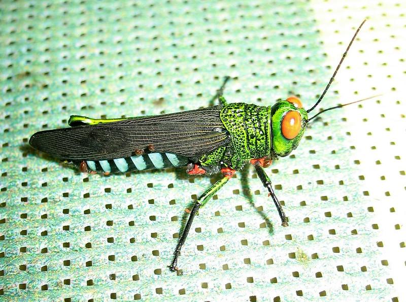 Panama Grasshopper