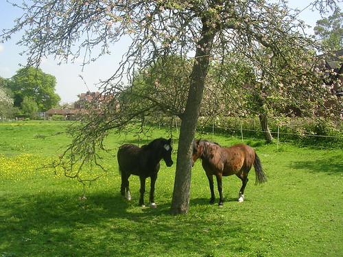 Horses seeking shade Extra walk: Cholsey to Goring That blue stuff is sky.