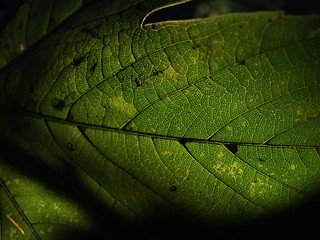 Leaf detail #1 | by cheesemonster