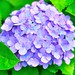 Mophead Hydrangea - Photo (c) Mahyarudin Dalimunthe, some rights reserved (CC BY-NC-ND)