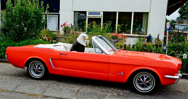 Zeearend in Ford mustang