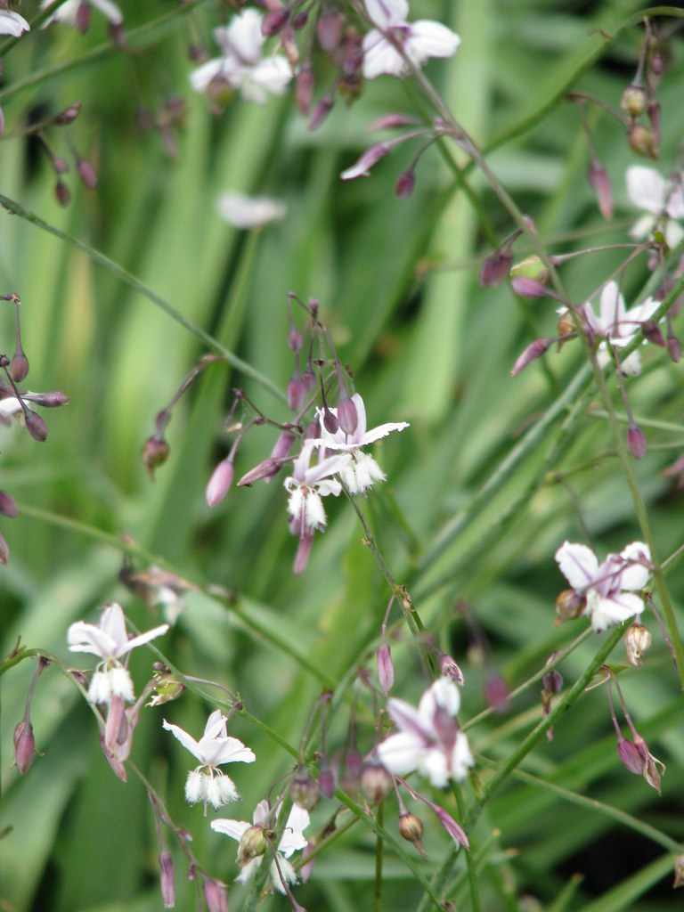 Arthropodium milleflorum