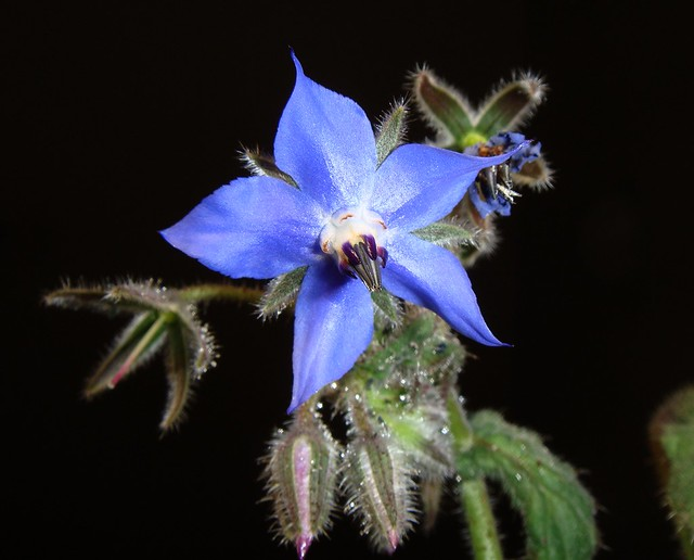 Borago officinalis ( Borragine)