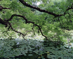 Water Lilies, Aros Park Lochan