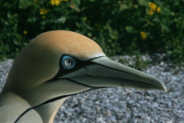 Gannets in Lamberts baai /Lamberts Bay